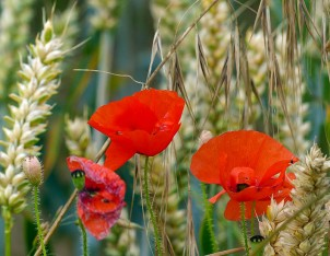 Poppies in the wheat