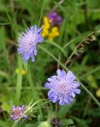 Scabious and...