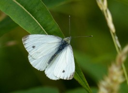 Small white in the lane