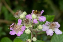Hover flies on brambles