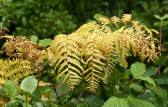 Yellowing bracken
