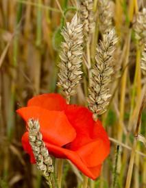 Poppy in the wheat