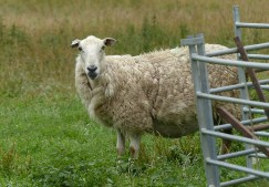 Soggy sheep