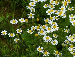 Daisies and pineapple weed