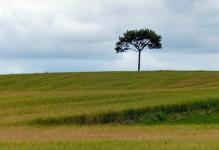 Barley and tree