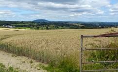 Wheat field and Wrekin