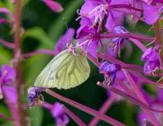 Green-veined white on willowherb (2)