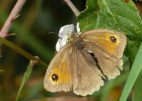 Scruffy meadow brown