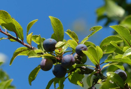 Sloes and sky blue