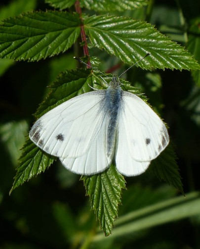 Another obliging small white