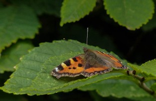 Small tortoiseshell taking it easy