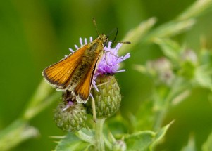 Here's a skipper