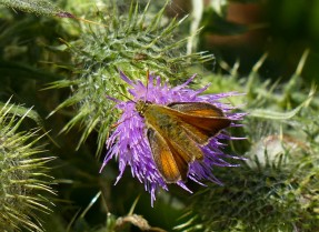 Small skipper on a thistle