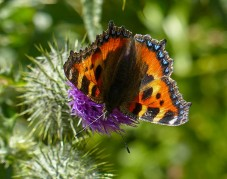 Small tortoiseshell and thistle