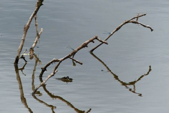 Branch with damselflies