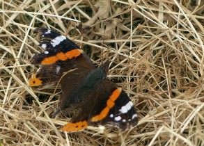 This year's scruffiest red admiral