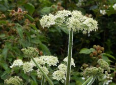 Who needs an umbrella when there are umbellifers?