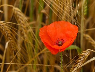 Poppy in the barley