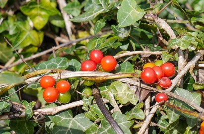 Red berries in the hedge