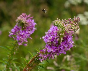 Fasciated willowherb - and bee