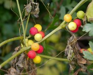 Traffic light berries