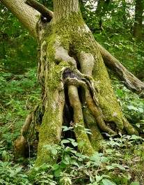 Woodland tangle