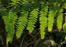 Fingers of fern