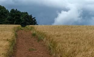 The path through the barley...