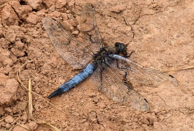 ... and the black-tailed skimmer