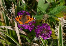 Butterfly in the buddleia (small tortoiseshell)