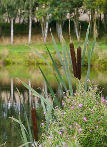 Reed mace and fishing pool