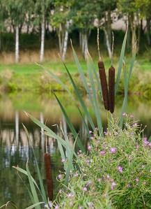 Reed mace and fishing pool