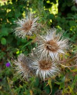 Thistles - their blooming time has passed
