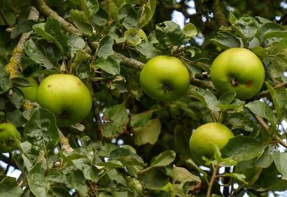 Inett apples