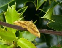 Moth (shaded broad-bar?)