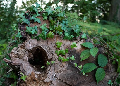 Stump with ivy