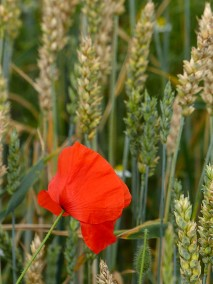 Poppy in the wheat