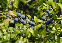 The sloes look good too