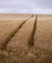 Tramlines in the barley