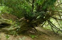 Fallen yew...