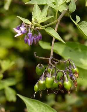 Woody nightshade (don't eat these berries!)