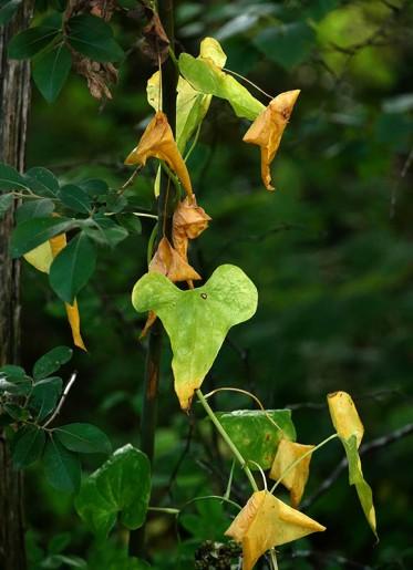 Leaves of bindweed