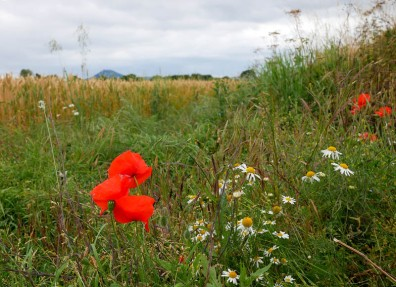 Poppies and wheat (and the Wrekin)