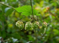 More hops (what a lovely aroma!)