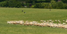 Rounding up the sheep