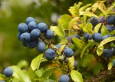 ...with lots of sloes