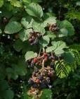 No shortage of blackberries