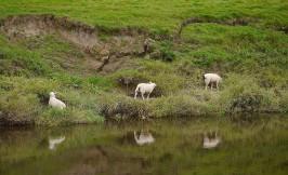 Reflective sheep