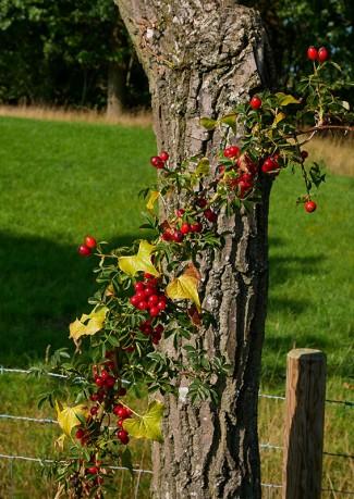 Wild rose and bindweed
