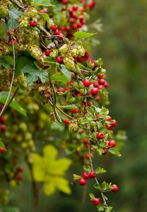 Hops and haws